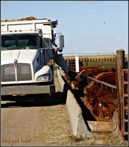 The calves excited to see the feed truck for the afternoon feeding...