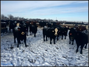 cattle1march15.jpg