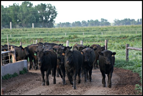Newly arrived cattle traveling back to the home pen after an exercising session...