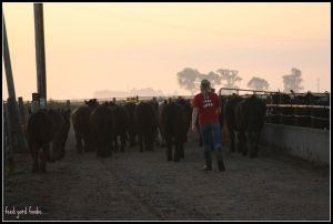 Trailing cattle down the alley during a dawn exercising session...