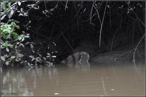 """The """"fan"""" tail of a crocodile..."""