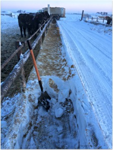 Scooping bunks Wednesday morning with my special short handled shovel-- the 2nd morning in a row...